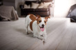 Dog Jack Russell Terrier portrait on a studio color background,