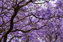Beautiful Violet Vibrant Jacar...