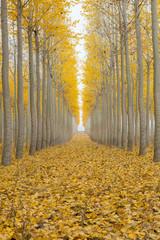 Panel Szklany Drzewa Poplar Tree Farm One Foggy Morning in Fall Season