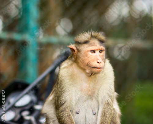 Foto op Plexiglas Aap The bonnet macaque is a macaque endemic to southern India. Its distribution is limited by the Indian Ocean on three sides and the Godavari, Tapti Rivers along with a related species of rhesus macaque.