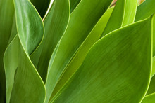 Green Patterns And Textures Of  Leaves Of Succulent Plant