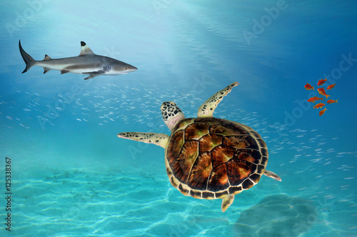 Poster Tortue Shark and Hawksbill Turtle