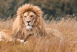 Fototapeta Sawanna - Lions