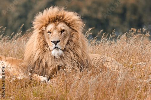 Foto op Plexiglas Leeuw Lions