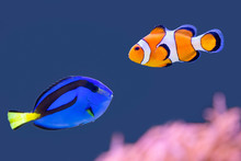 Palette Surgeonfish And Clown ...