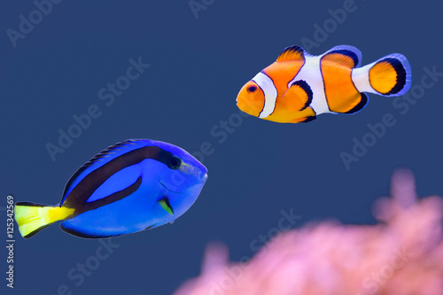 Fotomural  Palette surgeonfish and clown fish swimming together