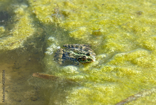 Foto op Canvas Krokodil Frog is in the bright green pond scum.