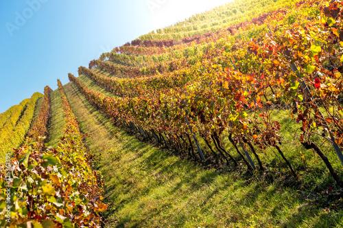 Poster Jaune Panoramic colorful vineyard in autumn time, Palava, Mikulov region, South Moravia, Czech Republic