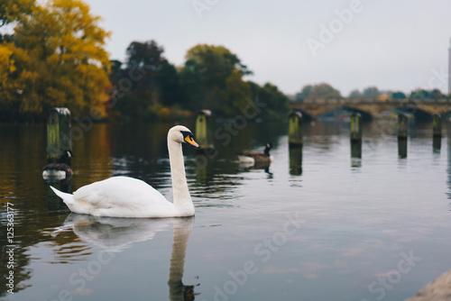 Foto op Canvas Zwaan Swan in Hyde Park London
