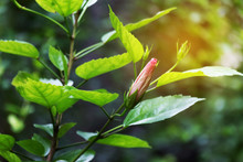 Sunlight Strikes Hibiscus Flower Bud Ready To Blooming With Blur Nature Background