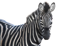 Portrait Zebra