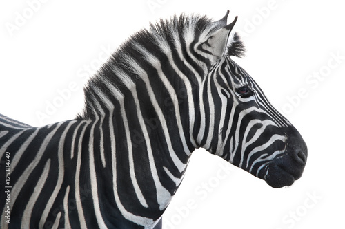 Poster Zebra portrait zebra