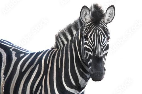 Cadres-photo bureau Zebra portrait zebra