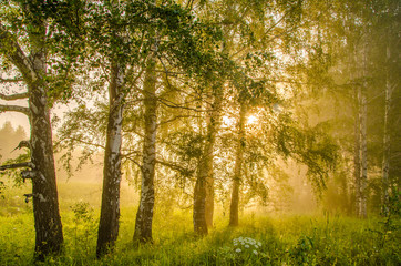 Fototapetathick morning fog in the summer forest