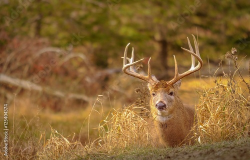 Poster Chasse White tail deer staying low during hunting season. 4/5