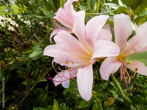 Lycoris Squamigera, Pale pink Magic Lily,