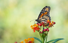 Monarch Butterfly (danaus Plex...
