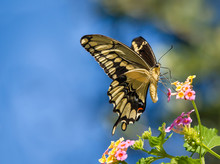 The Giant Swallowtail Butterfly (Papilio Cresphontes) Feeding On Lantana Flowers