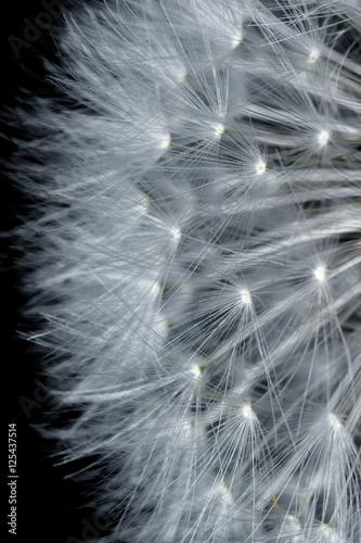 dandelion-z-ziarnami-na-czerni