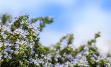 Flowering Rosemary On Sky Background