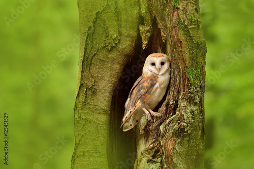 Barn owl (Tyto alba) in the tree cavity Wallpaper Mural