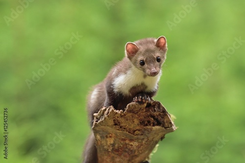Stone marten on the stump in czech forest Tapéta, Fotótapéta