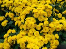 Yellow Chrysanthemums Flowers