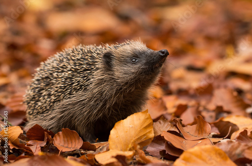 Fotografia hedgehog