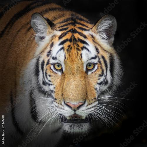 Fotobehang Leeuw Tiger