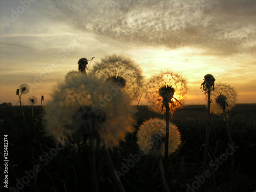 Poster  Dandelions on a Lincolnshire fenland field at sunset