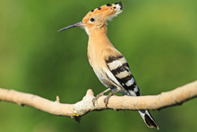 Hoopoe Sitting On A Branch   Green Background