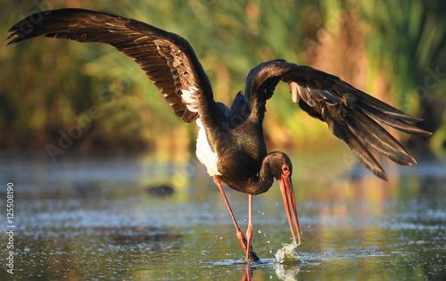 Fotografie, Obraz Black stork (Ciconia nigra)