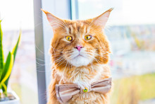 Funny Shocked Nervous Groom Maine Coon Cat Wearing Butterfly Tie And Waiting His Wedding, Wedding Concept, Humor