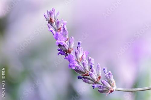 Cadres-photo bureau Lavande The flowers of lavender