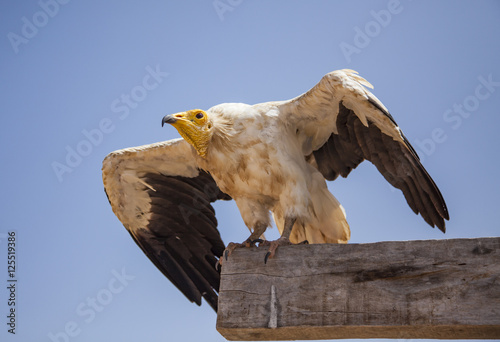 Egyptian vulture (Neophron percnopterus) in Socotra, Yemen
