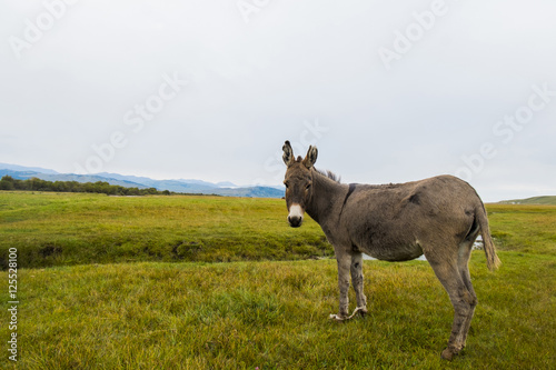 Donkey, Equus africanus asinus, standing on field against clear sky
