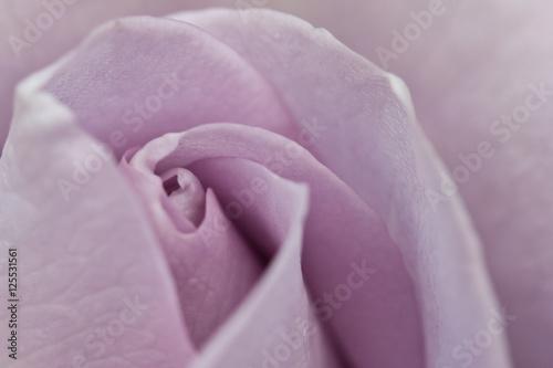Fotografia  Rose Flower Beauty