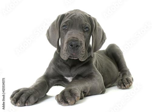 Fototapeta puppy great dane obraz