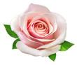 Leinwandbild Motiv rose isolated on the white