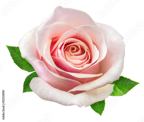 Staande foto Roses rose isolated on the white