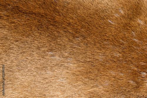Poster Puma Mountain Lion Fur Background