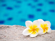 Two plumeria flowers beside swimming pool