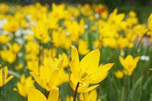 Papiers peints Narcisse Yellow wild tulips flowers field
