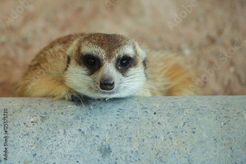Photo  Meerkat