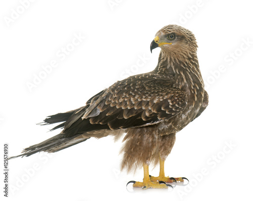 Photo Common buzzard in studio