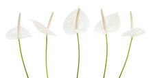 White Anthurium Flower