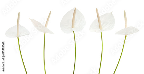 Photo white anthurium flower