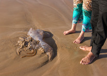 Man And Woman Looking At Large Jellyfish Tossed By The Waves On Sandy Beach