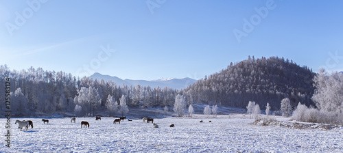 Tuinposter Centraal-Amerika Landen Snowy valley with wild Herd of horses, village on Altai mountains
