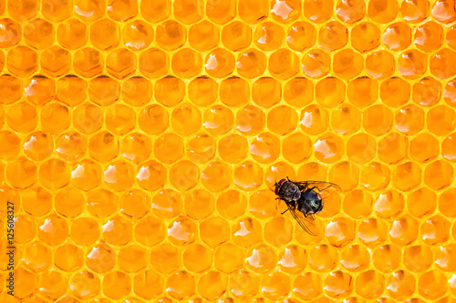 Poster Bee common green bottle fly insect sitting on honeycombs in the shape of hexagon closeup
